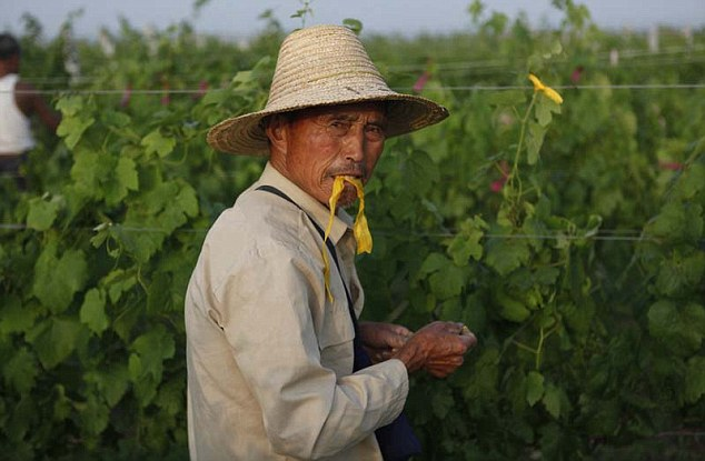 Vineyard worker in the fields in the coastal Shandong province