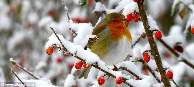 pettirosso Natale neve
