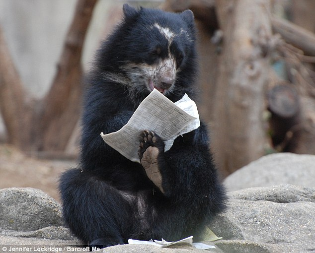 Chewing it over: Chaska flicks through the morning paper at the Smithsonian National Zoo. Moments later she was eating up the news
