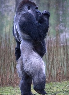 Gorilla standing up - photo#32