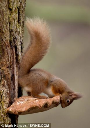 The red squirrel scampered down the birch tree and perched on top of the Razor Strop Fungus which also served as a handy watch tower