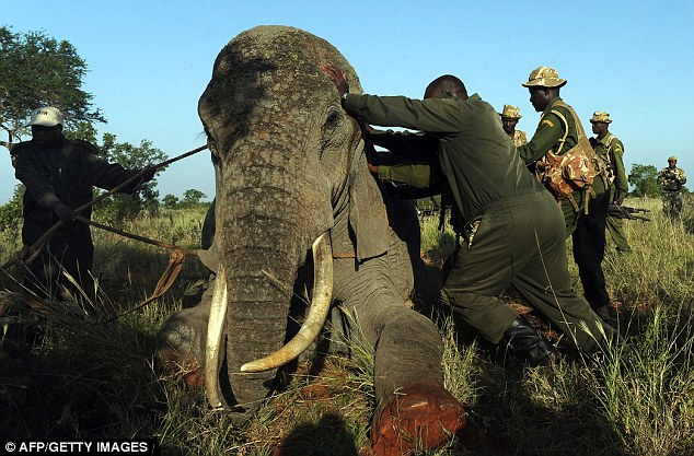 Elephants Tracked By Kenya Wildlife Services Go On Nelly Pack Your Truck Daily Mail Online