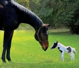 Einstein miniature horse turns 1