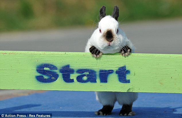 Buggin' out: Snoopy the show jumping rabbit can jump around 60cm high