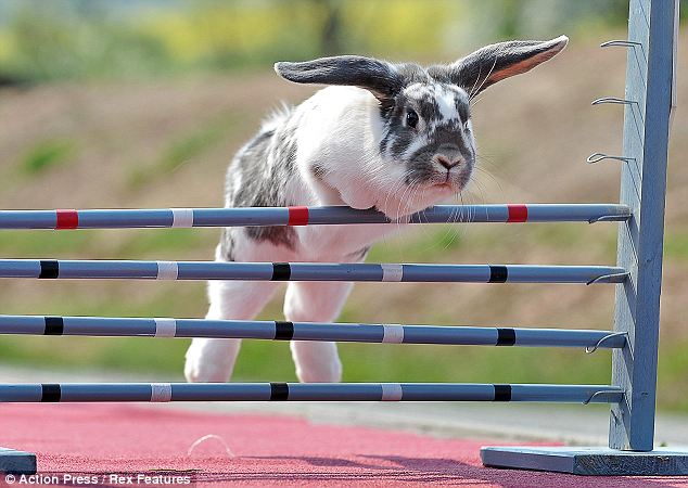 Oops! Bunnies are scored by the number of jump they can successfully clear, and there is often a time element to competition