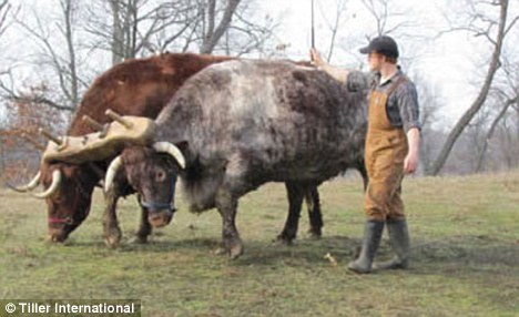Cheap: A pair of plough-ready oxen cost $3,000 (£1,800) - roughly the same as a second hand tractor