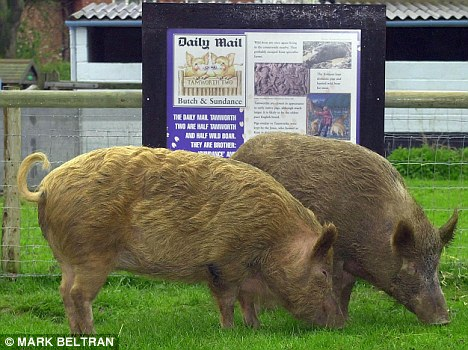 Tamworth Two: Aged around six months, Butch and Sundance fled an abattoir and spent a week on the run before the Daily Mail rounded them up, bought them and removed the threat of the bacon-slicer
