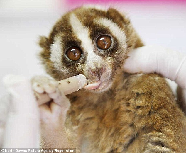 Their large eyes add to the cuteness of the slow lorises but there are fears the primates will soon become extinct