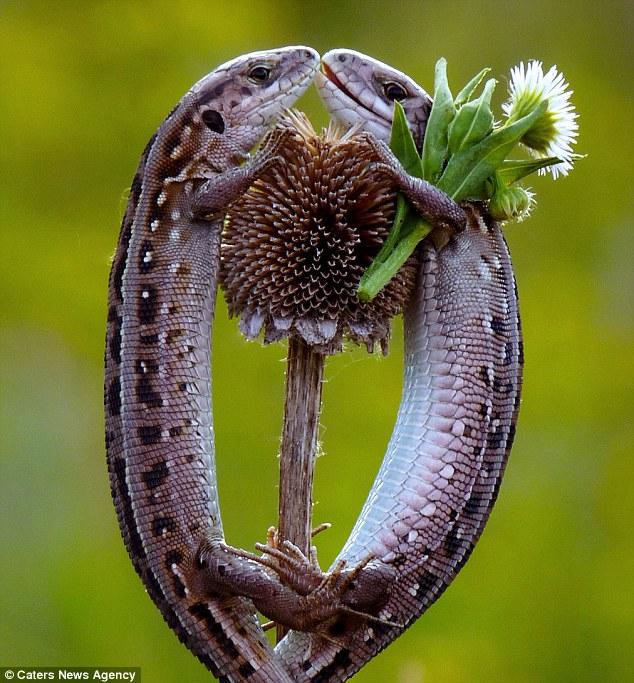 Ditelo con i fiori: La lucertola maschile sembra essere corteggiare la sua potenziale compagno con un mazzo di fiori