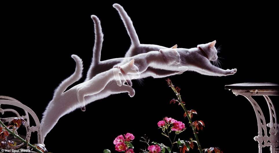 Playful cats: Photographer Kim Taylor captures a white cat, named Pyramus, leaping from a chair onto a table, taken at 50 millisecond intervals