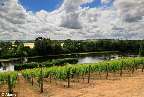 Warm: A vineyard in the south east of England where the climate is good enough to produce grapes that can rival the French