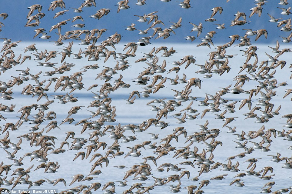 Flocks of hundreds of thousands of Sandpipers take off from the mudflats of the Copper River Delta in Prince William Sound to fly north during their annual spring migration