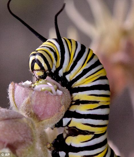 Gruesome: Beautiful monarch caterpillars are turned into zombies by a vicious virus - then melted