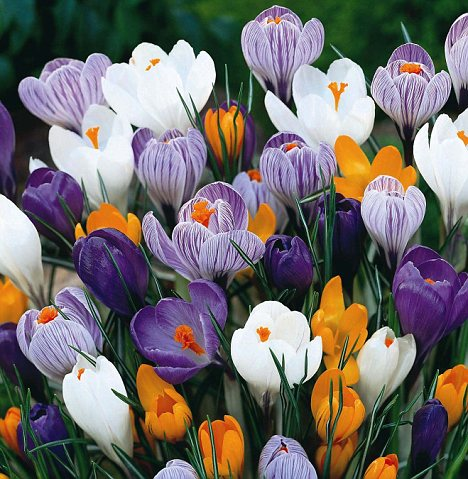 Pretty: And crocuses could provide a cure which works against all cancers