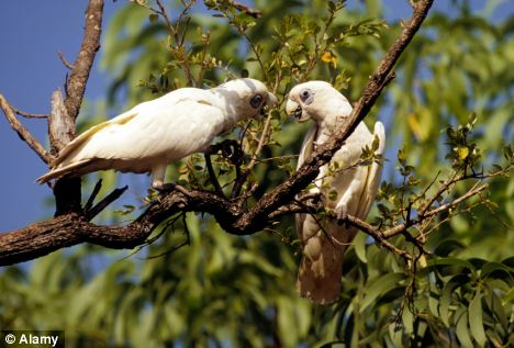 Bird talk: Two cockatoos living in the wild in Australian's Northern Territory