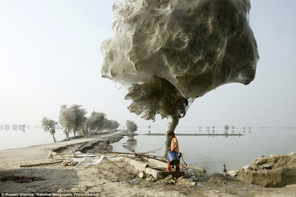 Trees cocooned in spiders webs after flooding in Pakistan, 7 December 2010 Russell Watkins