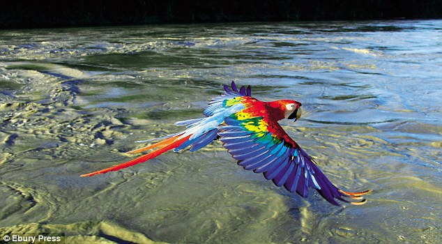 A scarlet macaw at the Manu river in Peru