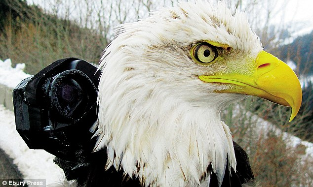 A bald eagle is fitted with a specially adapted 3oz 'bird-cam'