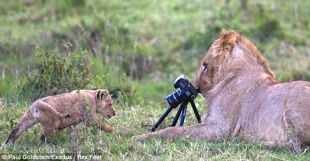 PAWS FOR YOUR CLOSE-UP: A cub moves into focus, with a lion behind the lens. Left: The lion grips the tripod