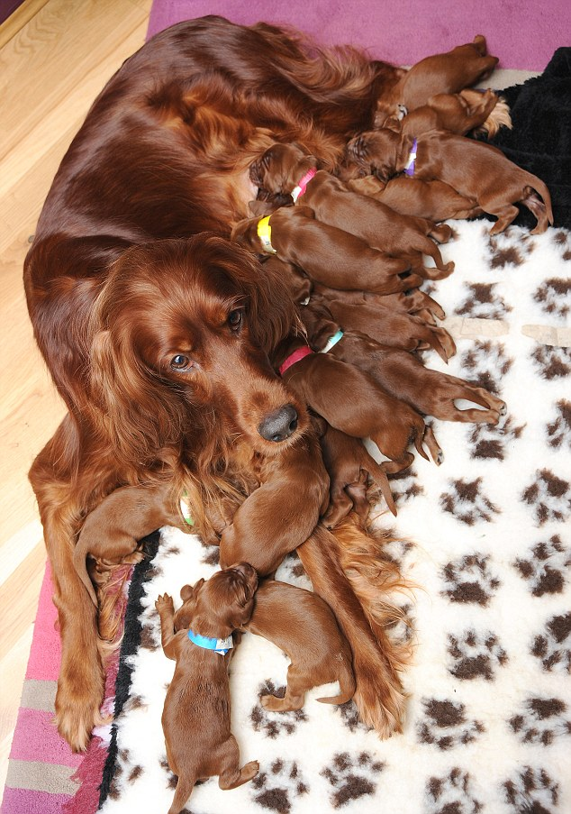 Busy mum: As soon as Romy has finished feeding her litter, she wants to do nothing more than sleep