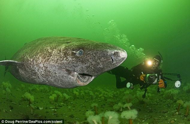 Image result for greenland shark