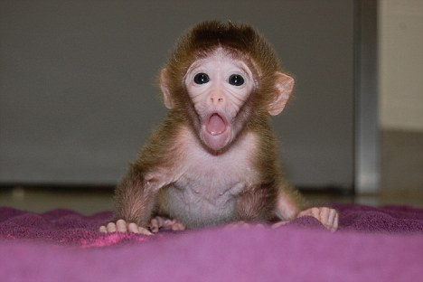 """Roku: Los monos fueron creados por """"pegando"""" las células de embriones de varias otras"""