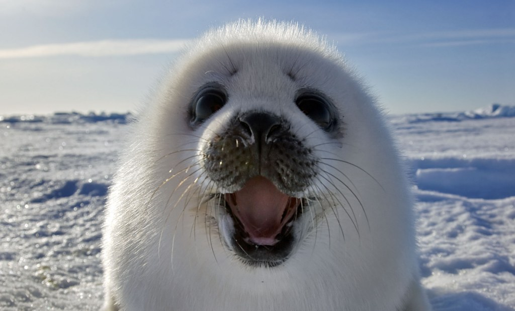 Meet The Incredible Smiling Seal How An Intrepid