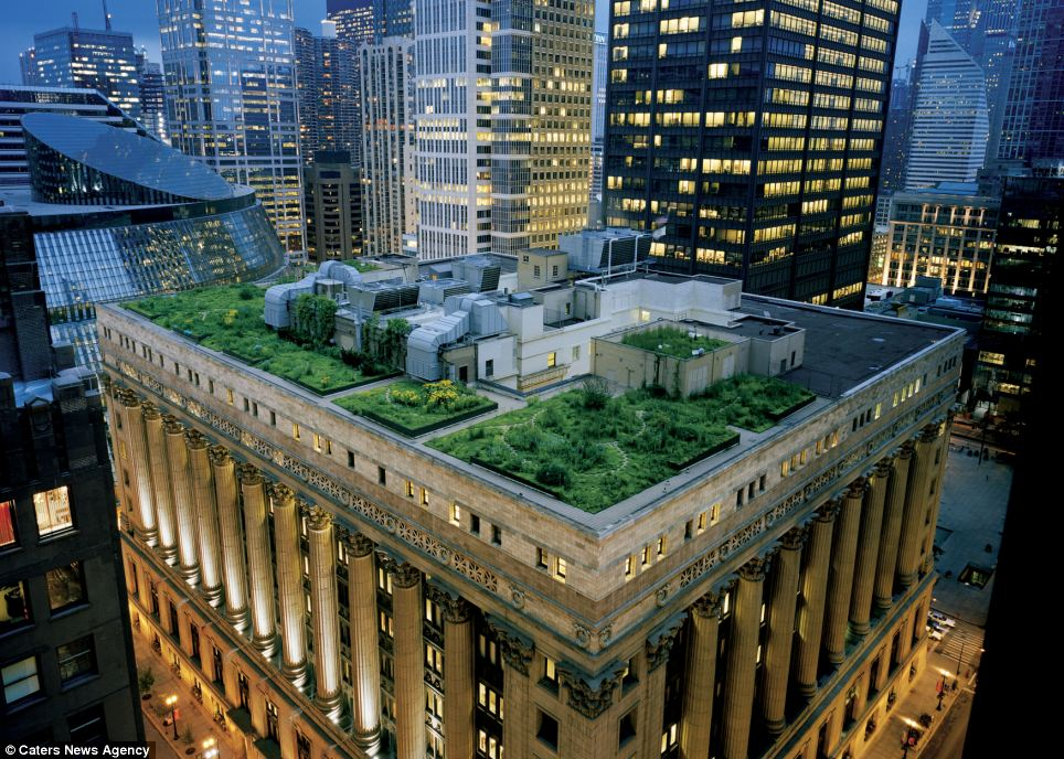 Grassy patch: These lawns look amazingly natural set amid the bright lights of Chicago's skyscrapers at nighttime