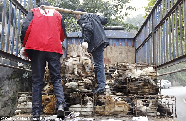 Volunteers remove the dog-filled cages from the back of the lorry