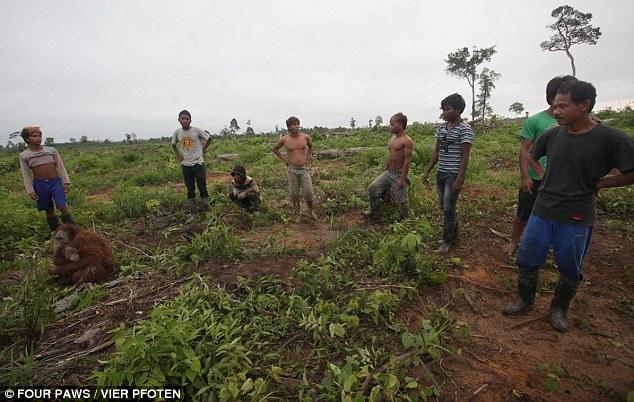 """""""A los pocos minutos y los orangutanes podrían haber muerto"""".  , dijo el doctor Signe Preuschoft, un experto en primates Four Paws"""