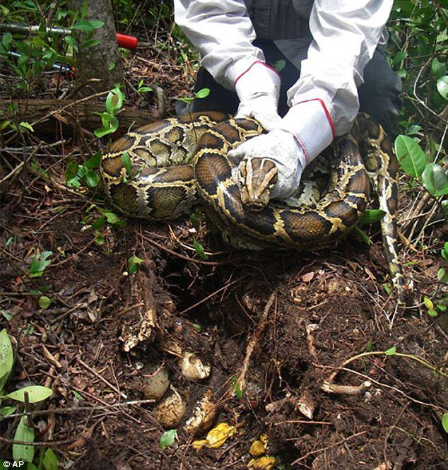 Al menos 1.825 pitones birmanas han sido capturados en los alrededores de Parque Nacional Everglades desde 2000.  Muchos solían ser las mascotas y fueron liberados por sus dueños cuando se acercaban demasiado grande.  Aquí hay un nido con su captura en 2009