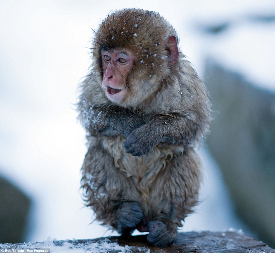 Frosty: This infant Japanese snow monkey curls up his paws to protect them from the icy cold weather