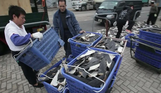 Lucrative: This eye-opening video shows men collecting the thousands of fins from the pavement to sell for up to $600 a pound