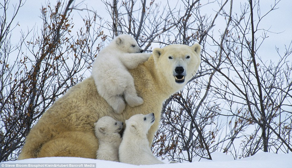 All aboard: A female polar bear and her cubs play in the snow in Canada after a long winter's rest