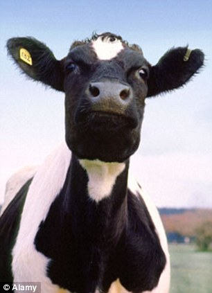 Superior: In Britain, the majority of cattle are fed on grass which makes a big difference to the quality of the meat