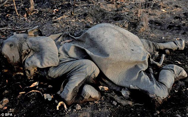 According to The International Fund for Animal Welfare (IFAW), poachers slaughtered 300-400 elephants for their tusks in Cameroon since 2012, up to 200 in a single park. Here is just one of the dead