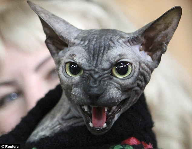 A Don Sphynx cat