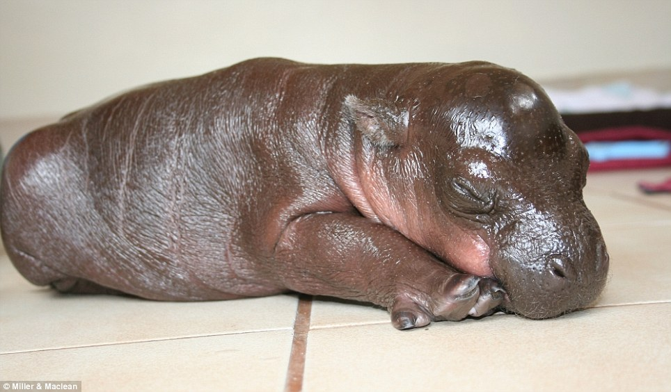 Forty winks: Pygmy hippos are largely nocturnal and and wait until nightfall before emerging to eat leaves and grass