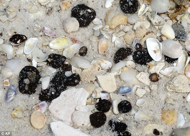 Deadly: Tar balls washing up on Alabama's shores were thought to be harmless, but actually contain a deadly bacteria called Vibrio vulnificus
