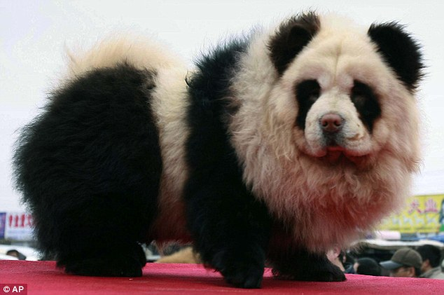 Monochromatic chic: A Chow Chow dog in China is painted in the likeness of panda