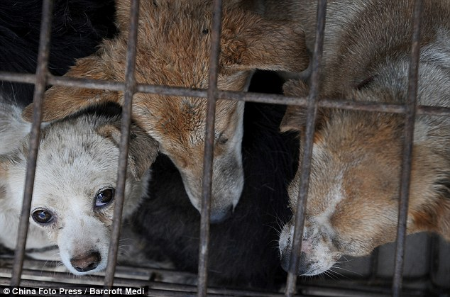 Fate: The driver of the truck told police he employed to transport dogs to a restaurant in Yulin city in south China's Guangxi province