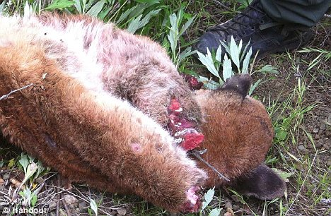 Savage crime: The mountain lion was found by a game warden on the side of the road with its two front paws apparently sawed off