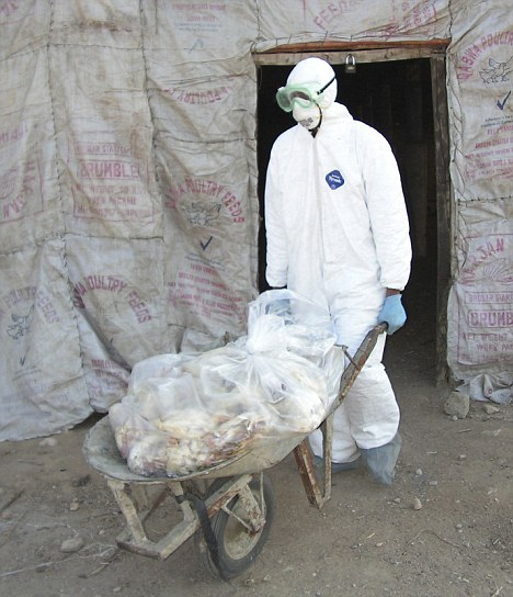 A Pakistani health official removes chickens from an infected farm, Gadap, Pakistan; 'We have to take H5N1 seriously. It doesn't mean it will become a pandemic, but it can,¿ said Peiris, who wrote a commentary accompanying Kawaoka's paper in Nature