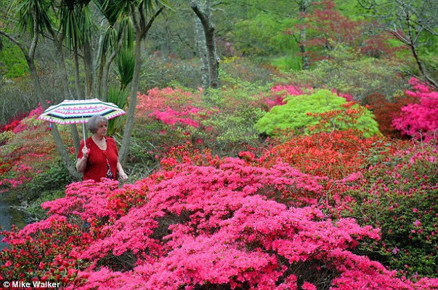Downpour: A woman walks in the rain past colourful Azalea flowers in Exbury Gardens in the New Forest