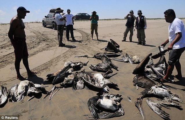 Most of the pelicans appeared to have died on shore over the past few days, officials said