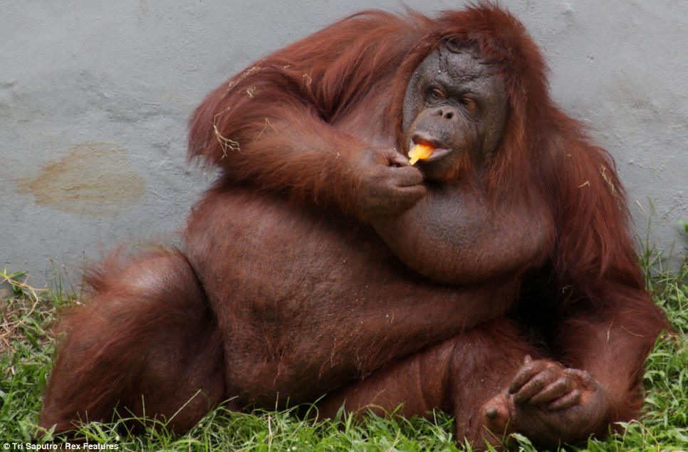 To hell with the diet... An orangutan at Ragunan zoo in Jakarta, Indonesia