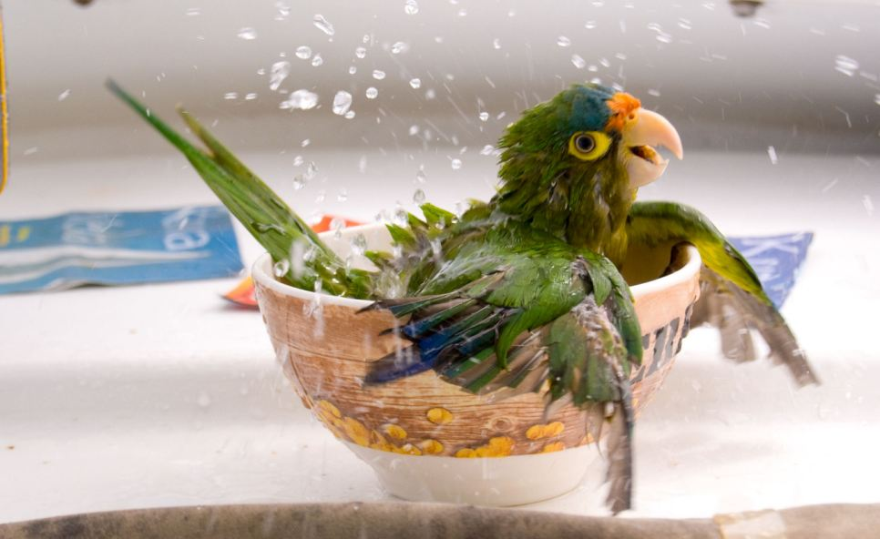 Bird bath with a difference: Jacquille the parrot cools down in a tea cup in Costa Rica