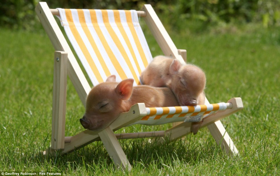 Pass the oinkment, dear: Some pigs tan themselves in Cambridgeshire