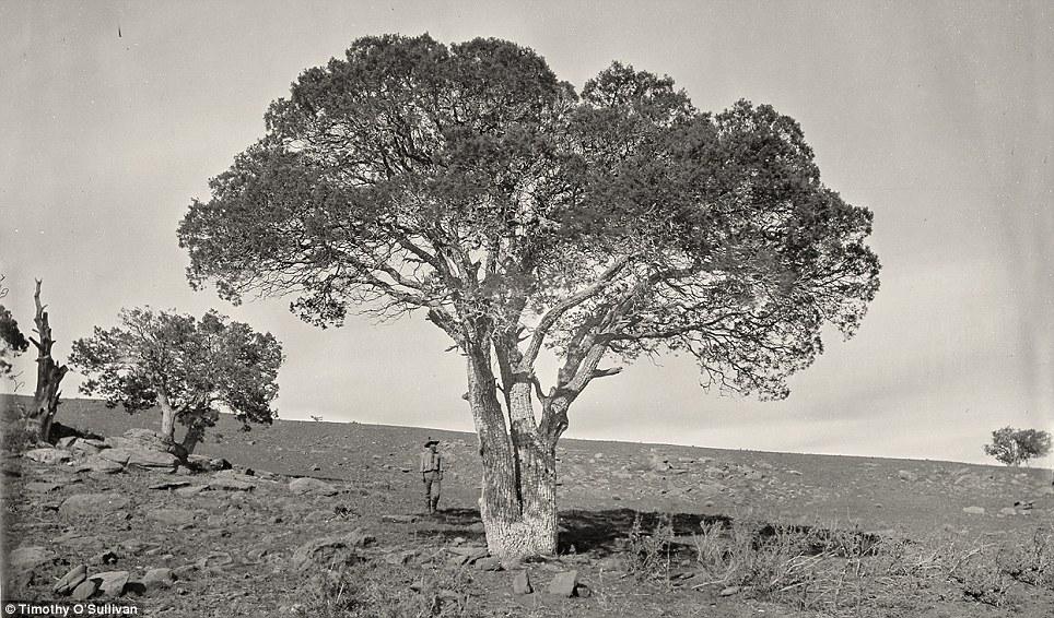 Tree-mendous: Oak Grove, White Mountains, Sierra Blanca, Arizona in 1873