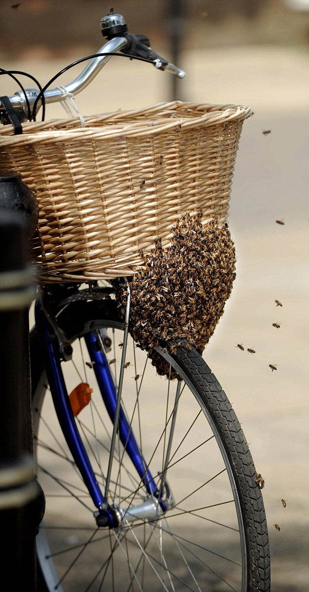 A swarm of bees that made home on a cycle basket and tyre in March Town centre